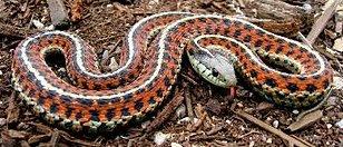 Coast Garter Snake or Thamnophis Elegans Terrestris