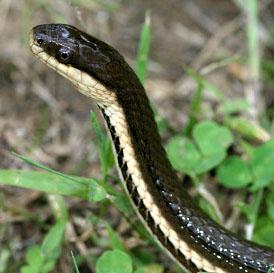 Queen Snake or Natricidae Regina Septemvittata
