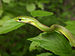 Opheodrys aestivus snake