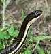 Regina_septemvittata snake